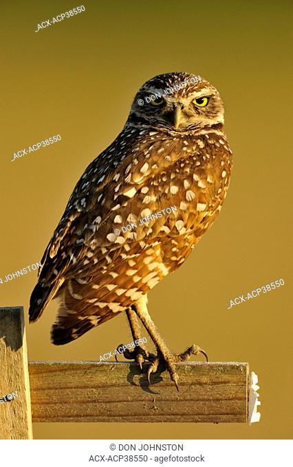 Burrowing owl Athene cunicularia Adult near nest in residential area
