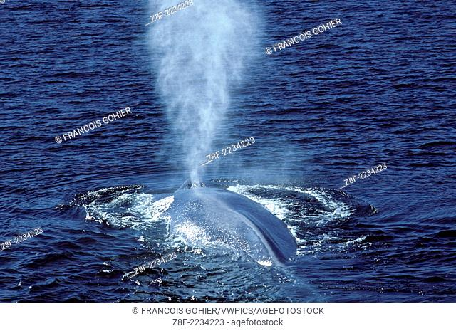 Blue whale.Balaenoptera musculus.Photographed in the Gulf of California (Sea of Cortez), Mexico