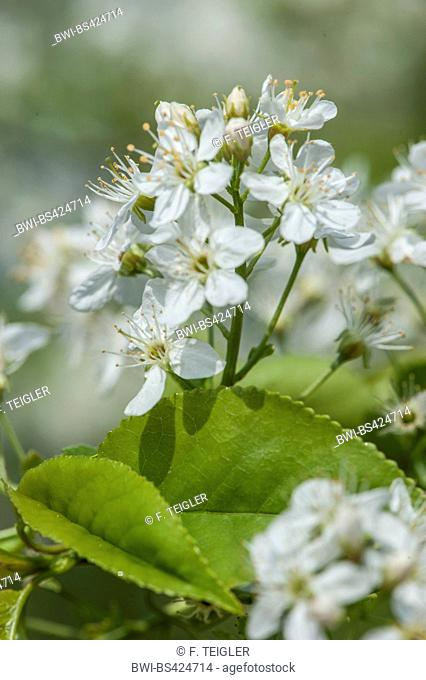 Perfumed cherry, St Lucie cherry, Mahaleb cherry (Prunus mahaleb, Cerasus mahaleb), blooming, Germany