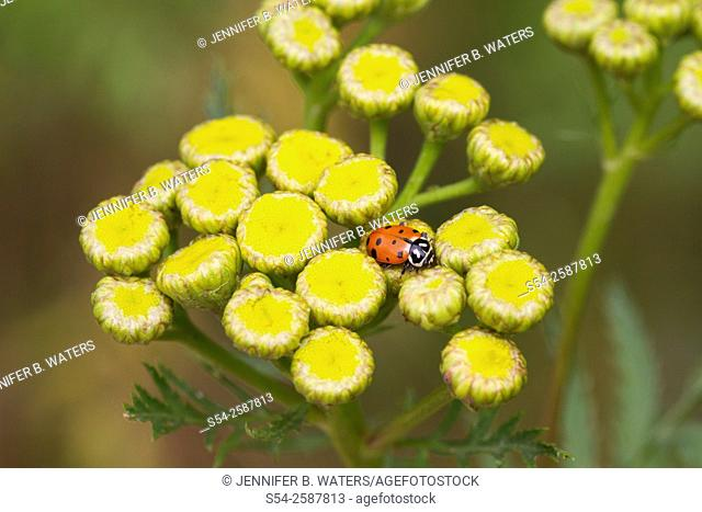 A convergent lady beetle, or Hippodamia convergens, on a Tansy weed, or Tanacetum vulgare