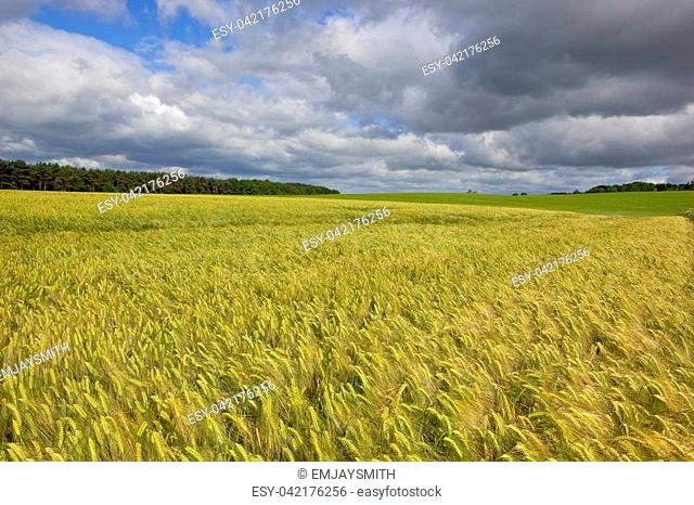 a golden green ripening barley crop with trees and hedgerows in the scenic yorkshire wolds under a blue sky in summer