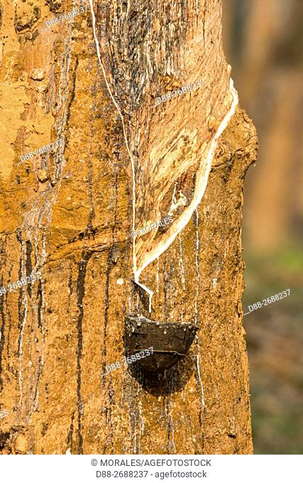 South east Asia, India,Tripura state,harvesting latex from rubber trees