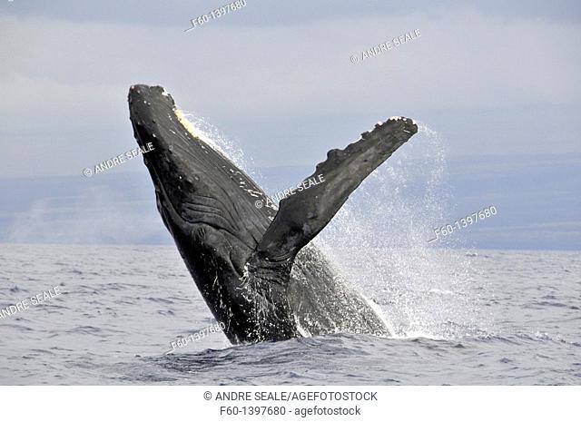 Humpback whale, Megaptera novaeangliae, breaching, Big Island, Hawaii, North Pacific