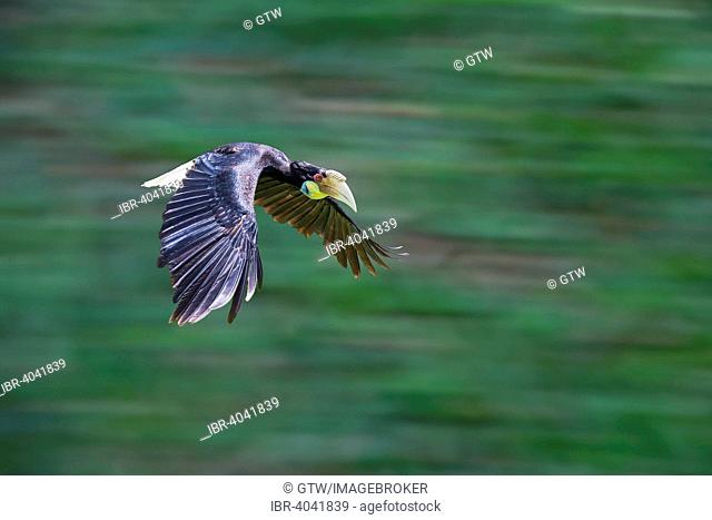 Wreathed Hornbill or Bar-pouched Wreathed Hornbill (Rhyticeros undulatus), Bali Bird Park, Bali, Indonesia