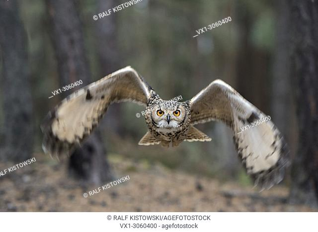 Indian Eagle-Owl / Rock Eagle-Owl (Bubo bengalensis) in flight, dynamic frontal shot, very detailed, bright eyes. India