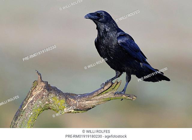 Common raven, Corvus corax, Feldberger Seenlandschaft, Mecklenburg-Vorpommern, Germany / Kolkrabe