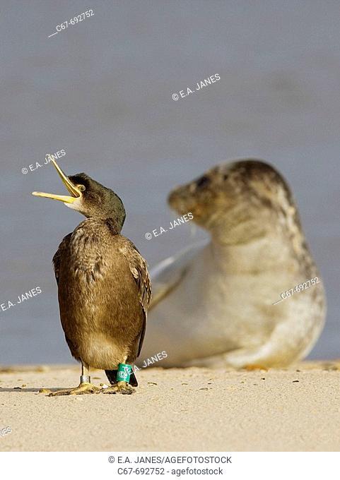 Shag, Phalacrocorax aristotelis, & Common Seals, Wells, Norfolk