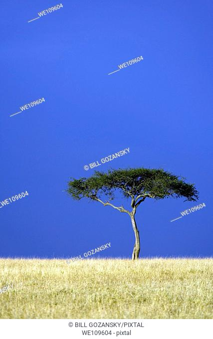 Lone tree in the savannah - Masai Mara National Reserve, Kenya