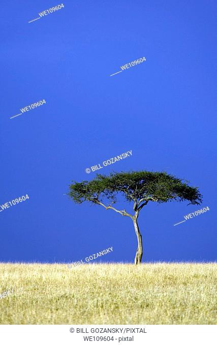 Lone tree in the savannah - Masai Mara National Reserve, Kenya