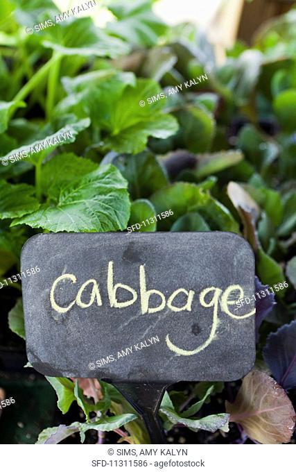 Cabbage at farmer's market