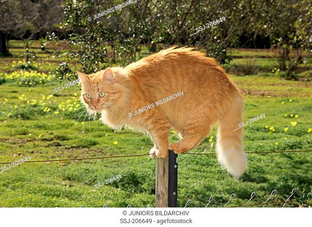American Longhair, Maine Coon. Red cat standing on a fence post. Spain