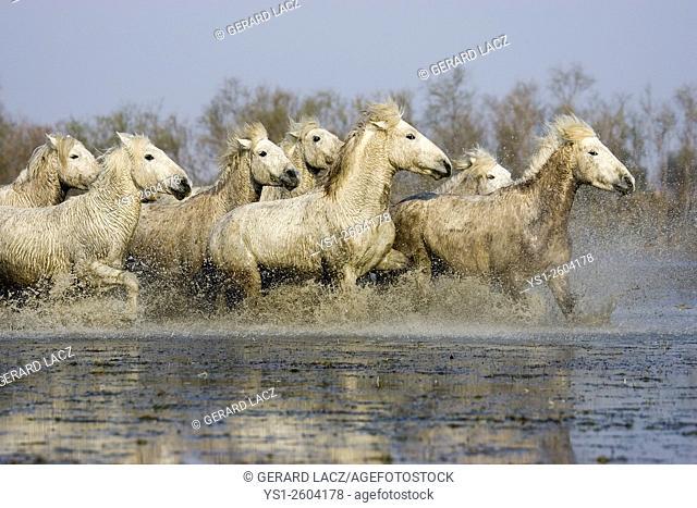 Camargue Horse, Herd Trotting through Swamp, Saintes Maries de la Mer in the South East of France