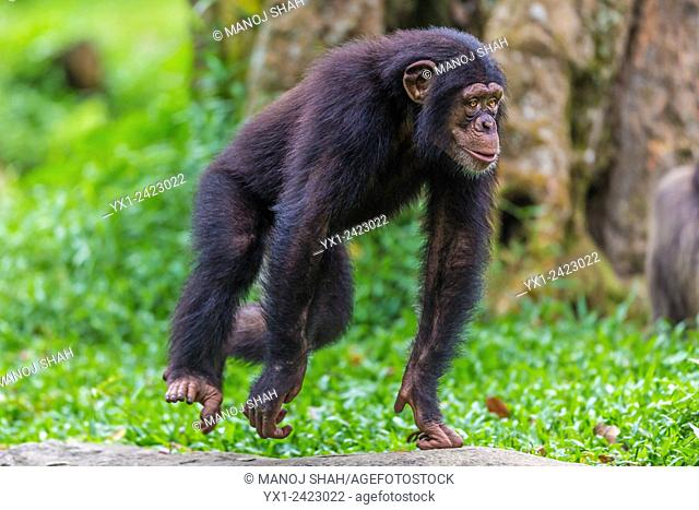 Chimpanzee running, Central African Republic, Africa