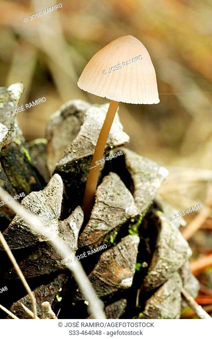 Mushroom (Mycena sp.) on pinecone. Cadalso de los Vidrios. Madrid province. Spain