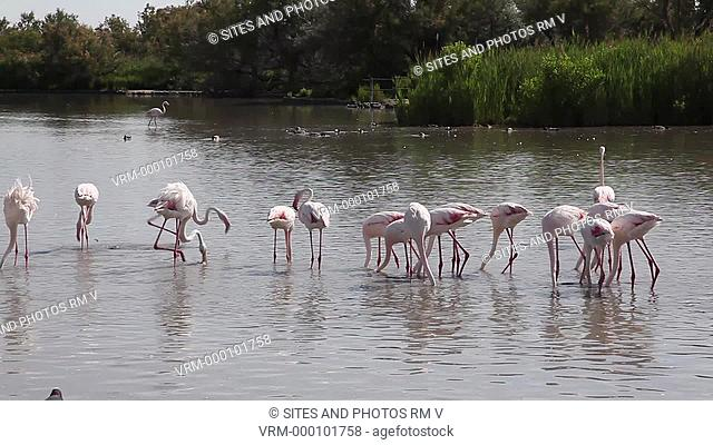PAN. daylight. Flamingoes Phoenicopterus ruseus and ducks in the lake, with audio. The Camargue Nature Park, or the Parc Naturel Regional de Camargue in...