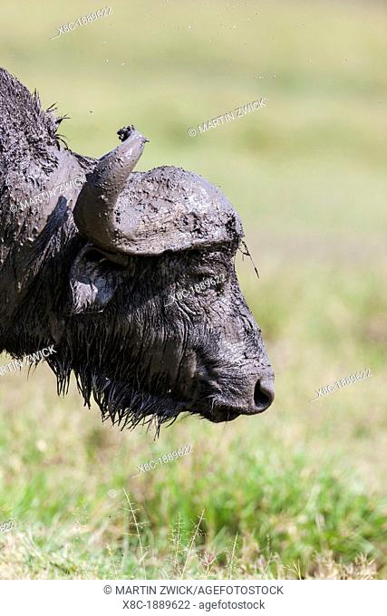 African Buffalo Syncerus Caffer or Cape buffalo in the Maasai Mara Masai Mara in Kenya  bull after wallowing in mud  Africa, East Africa, Kenya, Maasai Mara