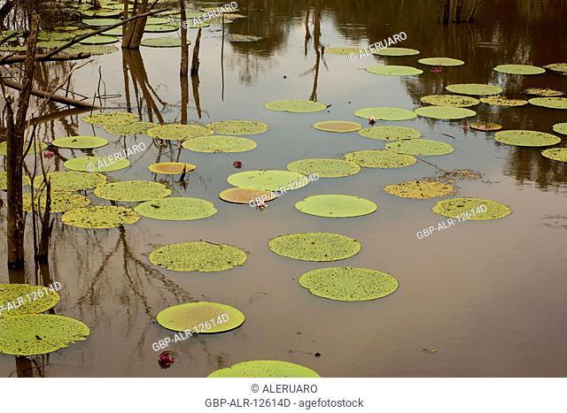 Water lily, Forest, Amazônia, Manaus, Amazonas, Brazil