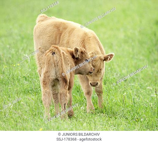 Highland Cattle. Two calves on a meadow