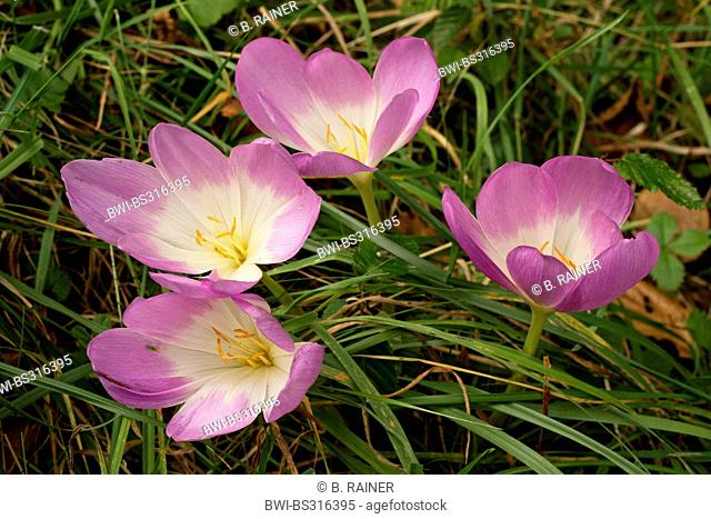 Meadow saffron, Naked lady, Autumn crocus (Colchicum autumnale), blooming in a meadow, Germany, 1