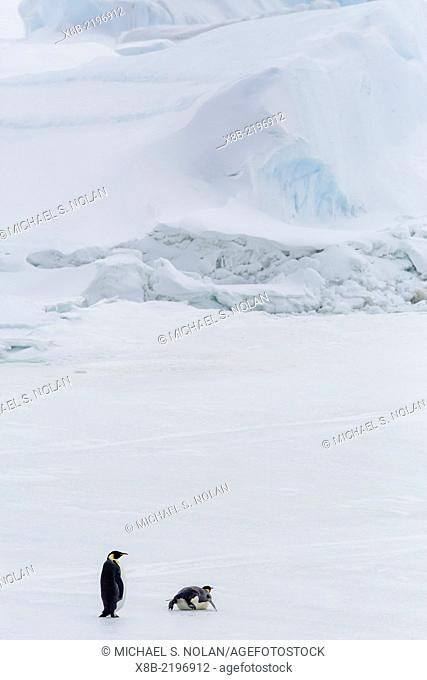 Emperor Penguins, Aptenodytes forsteri, marching across sea ice on Snow Hill Island, Weddell Sea, Antarctica