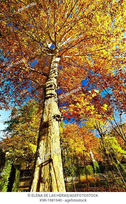 Plane tree (Platanus x hispanica) in autumn at the Botanical Garden. Madrid. Spain