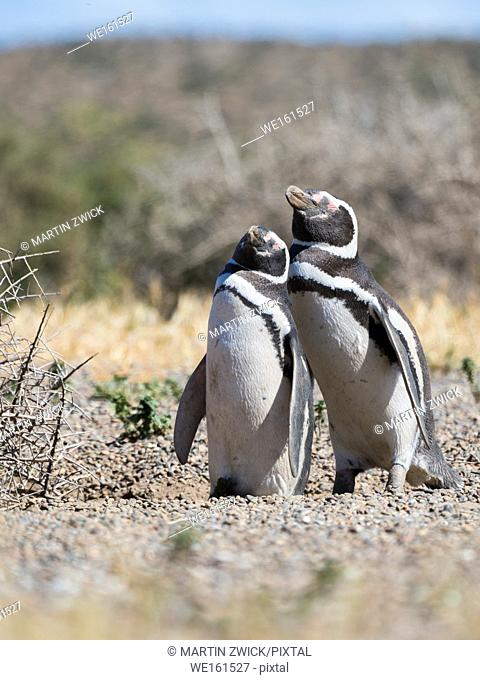 Magellanic Penguin (Spheniscus magellanicus) in colony in Valdes. The peninsula Valdes is nature reserve and listed as UNESCO world heritage