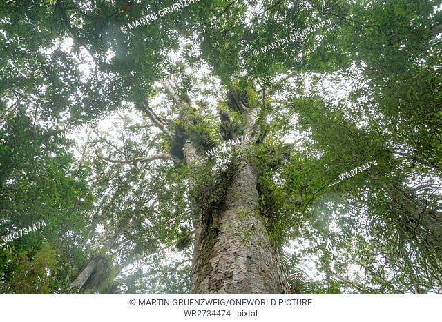 New Zealand, Northland, Kaihu, Trounson Kauri Park, tree crown of a kauri tree