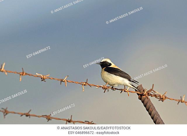 Black-eared wheatear (Oenanthe hispanica), Greece