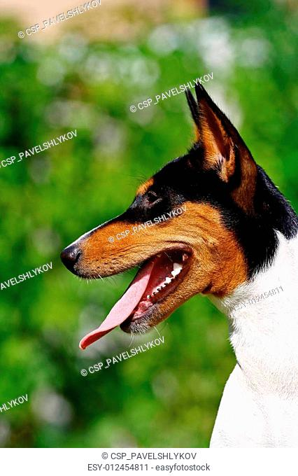 The Basenji is a breed of hunting dog that was bred from stock originating in central Africa. Most of the major kennel clubs in the English-speaking world place...
