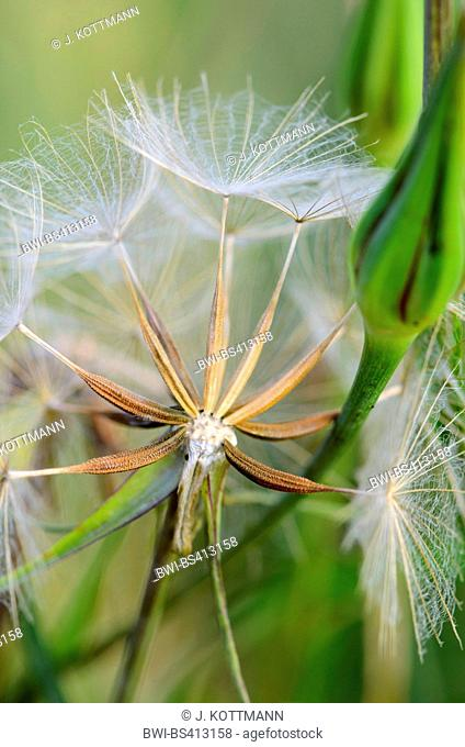 meadow goat's beard, jack-go-to-bed-at-noon, meadow salsifify (Tragopogon pratensis), fruits, Germany