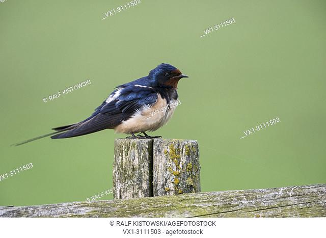 Barn Swallow / Rauchschwalbe ( Hirundo rustica ) perched on a wooden fence pole in front of nice clean green background.