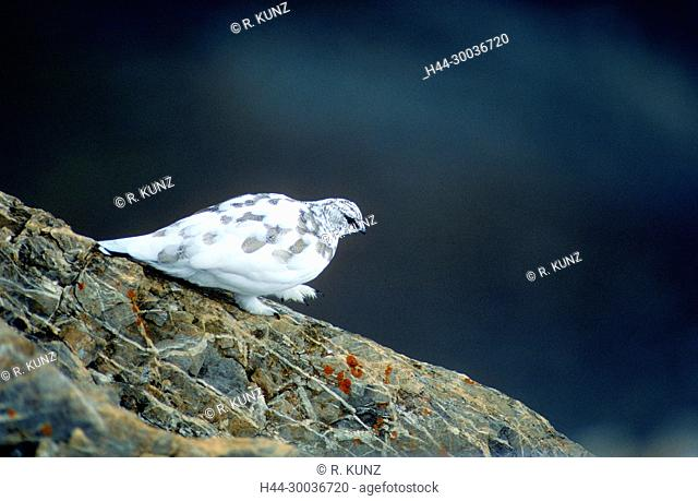 Rock Ptarmigan, Lagopus mura, Phasianidae, winter dress, bird, animal, Cassonsgrat, Flimserstein, Flims, Canton of Graubünden, Switzerland