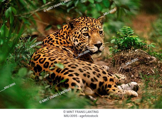 Jaguar resting in forest, Panthera onca, Belize