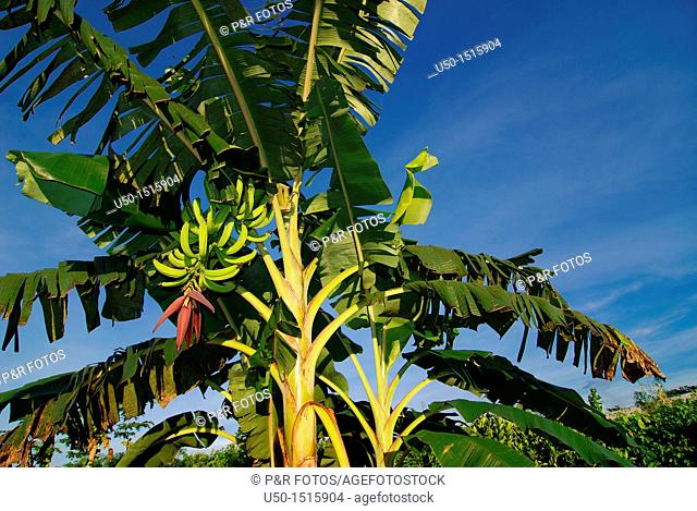 Banana tree with leaves, stem, fruits  Rio Branco, AC, 2011  Plant 3 m high
