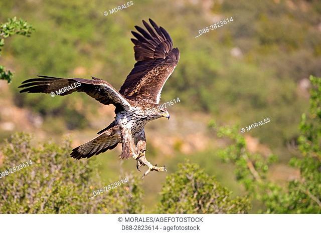Spain, Catalonia, Pre-Pyrenees, Montsonis, Bonelli's eagle or Eurasian hawk-eagle, Hieraetus fasciatus or Aquila fasciata, picture taken from hide