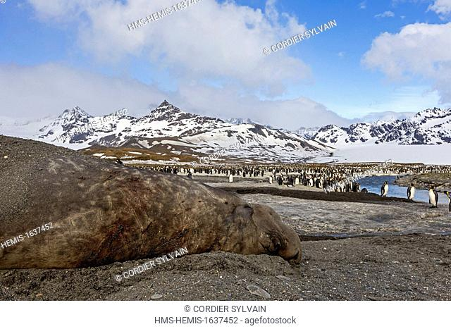 Antarctic, South Georgia Island, Saint Andrews plains, Southern Elephant Seal (Mirounga leonina), male