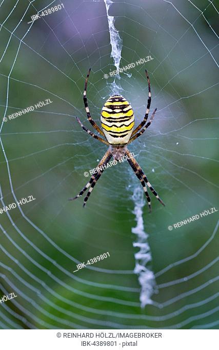 Orb-web spider (Argiope bruennichi) in its web, Limbach, Burgenland, Austria