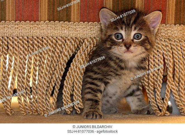 Domestic cat. Kitten sitting under a chair. Germany