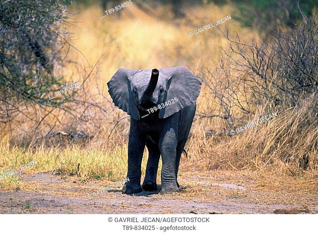 African ElephantBaby Loxodonta africana