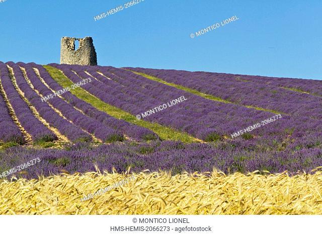 France, Vaucluse, Luberon, Lagarde d'Apt, lavender fields