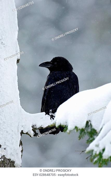 Black raven sitting on the snow tree during winter