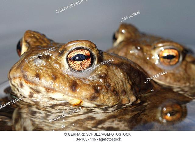 Common Toad, Bufo bufo, Schleswig-Holstein, Germany