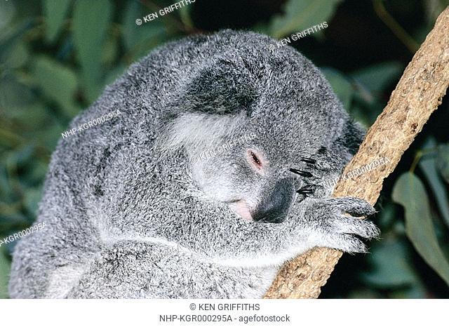 KOALA resting, head detail Phascolarctos cinereus Eastern Australia