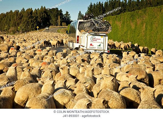 Peak hour in the South Island, Adventure South bike touring company commutes through flock of sheep to Otago Rail Trail, Geraldine, New Zealand