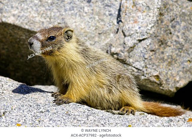 Juvenile yellow-bellied marmot Marmota caligata, southern Okanagan Valley, British Columbia