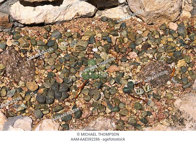 Living Stones or Flowering Stones (Lithops sp.), Desert Botanical Garden, Phoenix, AZ