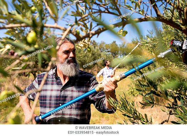 Man using olive picking tool while harvesting