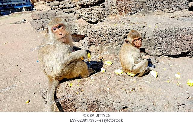 Monkey family eating corns