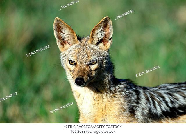 Black-backed jackal (Canis mesomelas), Nakuru National Park, Kenya, Africa, October