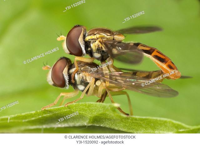 Flower Fly Toxomerus marginatus - Mating Pair, West Harrison, Westchester County, New York, USA